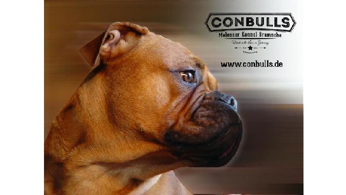 Continental Bulldog Züchter - Conbulls
