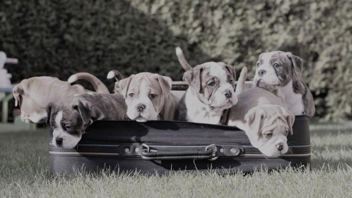 Continental Bulldog Züchter - Rina-Bulls