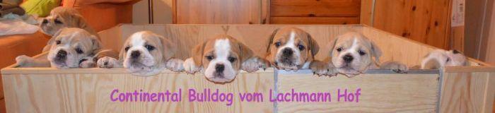 Continental Bulldog Züchter - vom Lachmann Hof